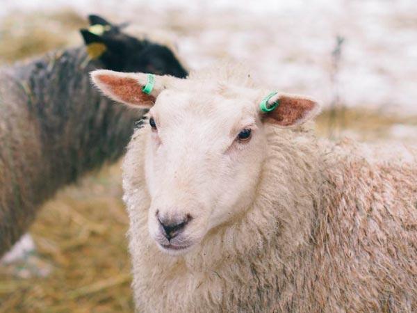 Hakamaan lammastila